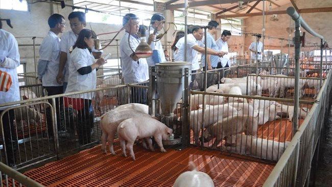 Vietnam cracks down on devastating African swine fever