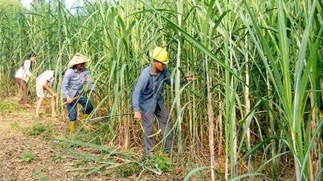 Vietnam sugar industry in dire strait