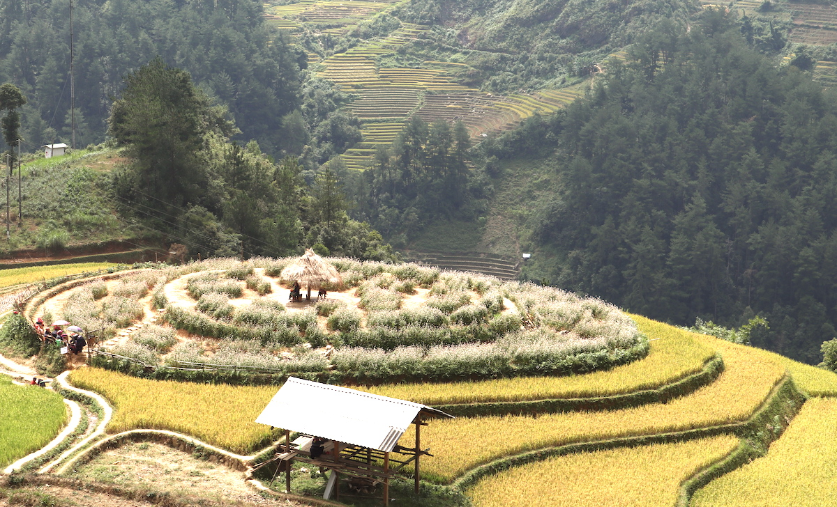 The stunning sight of rice harvest in Mu Cang Chai, Vietnam 7