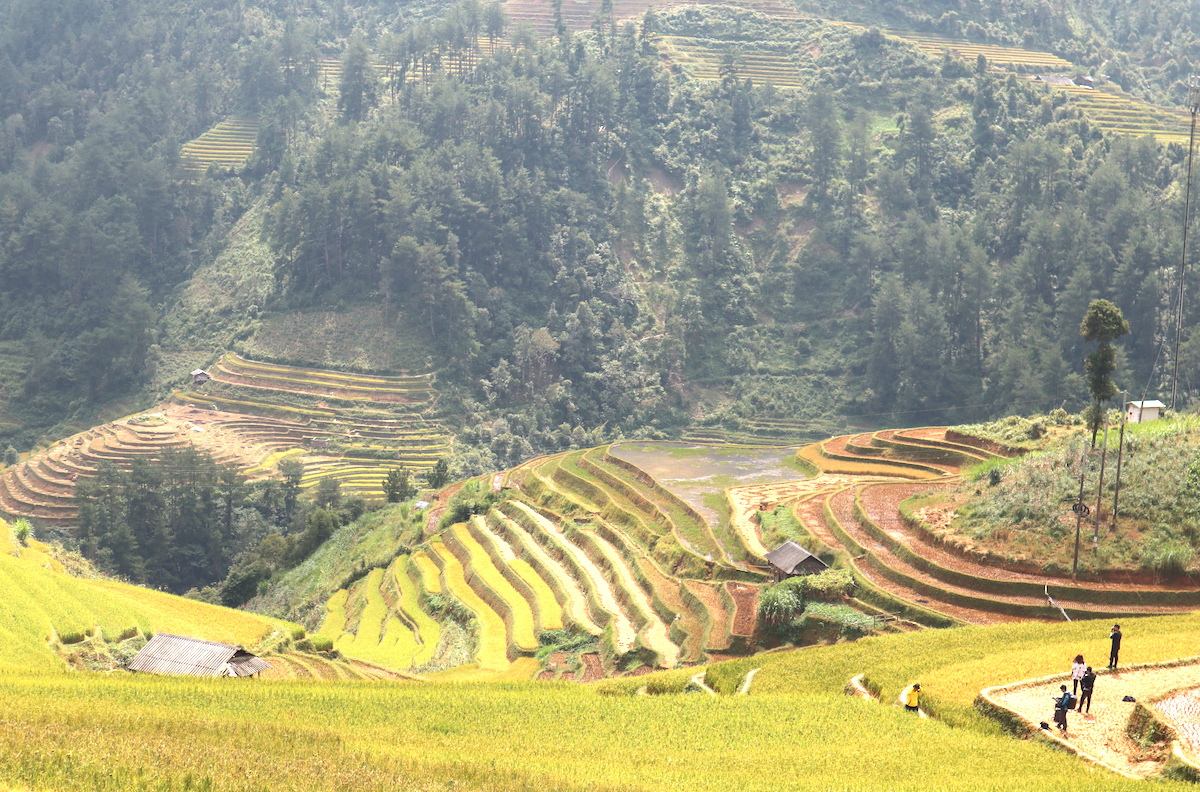 The stunning sight of rice harvest in Mu Cang Chai, Vietnam 2