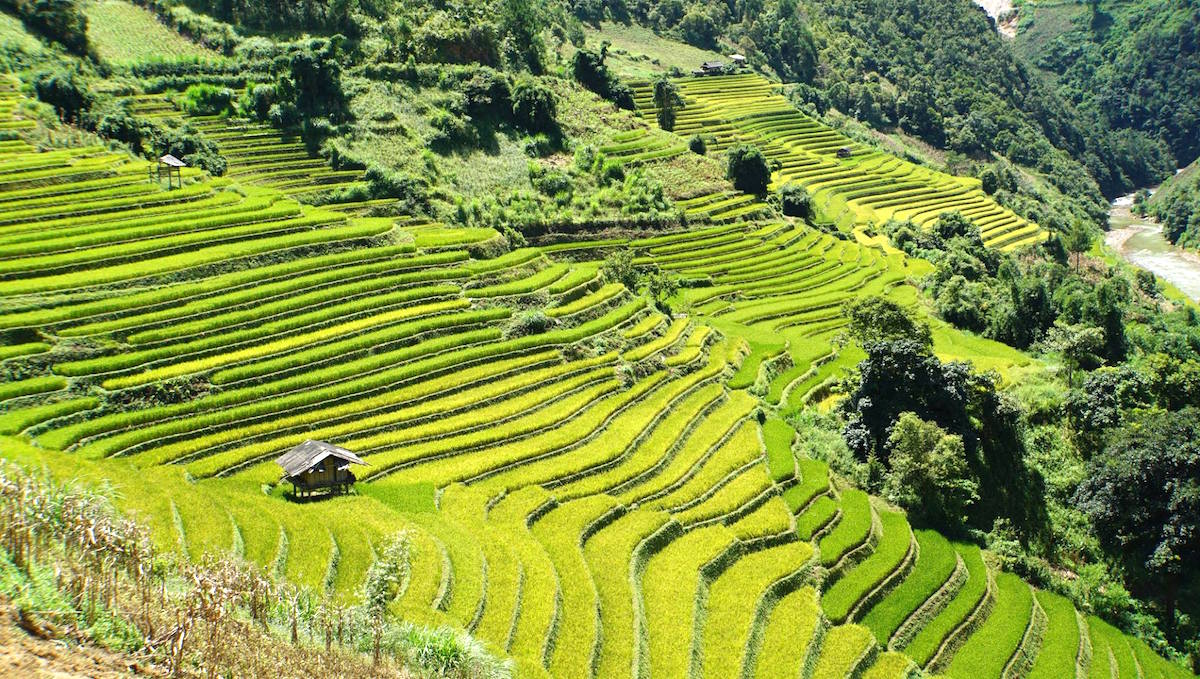 The stunning sight of rice harvest in Mu Cang Chai, Vietnam 9