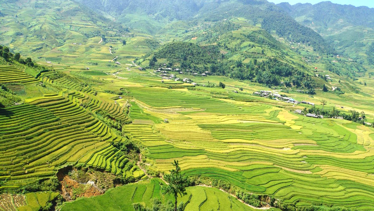 The stunning sight of rice harvest in Mu Cang Chai, Vietnam