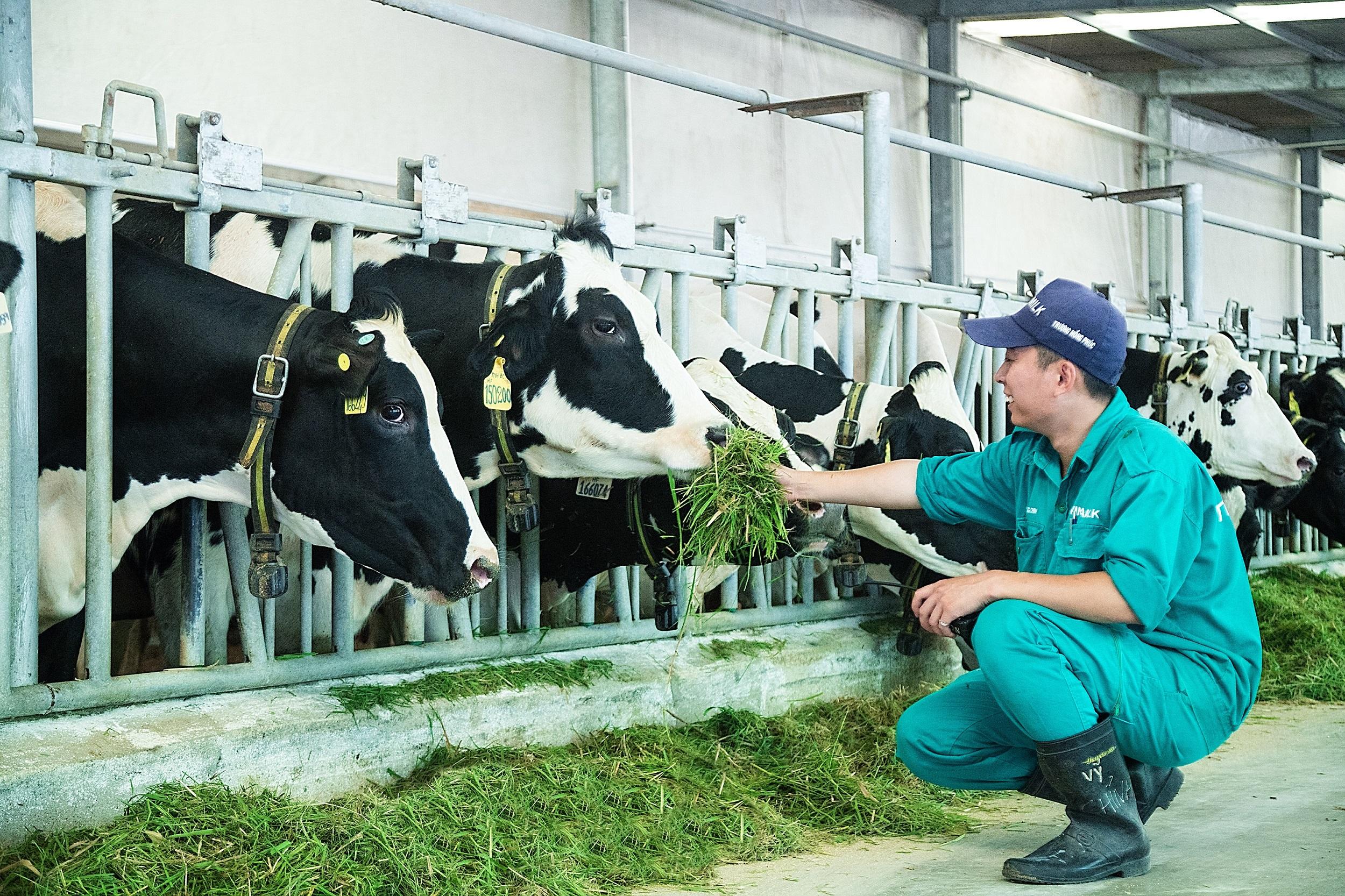 Vinamilk Resort for dairy cows opened in Tay Ninh 3